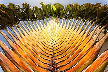Closeup of a beautiful green palm tree in Ziguinchor, casamance, senegal