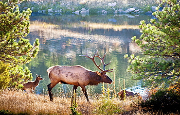 View Of Bull Elk With Calf In Rocky Mountain National Park
