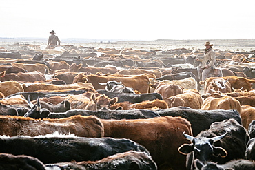 Cowboy On Horse Surrounded By Herd Of Cows In The Field