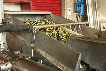 Making Olive Oil In Garda, Italy