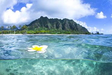 A Plumeria Flower Floating On Water In Kualoa Ridge On Oahu's East Side