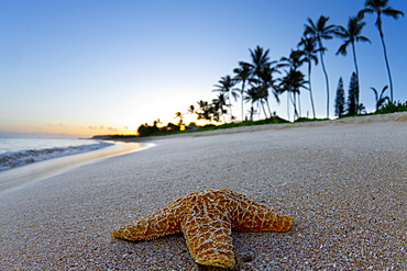 Close-up Of A Starfish On The Beach During Sunrise In Hawaii