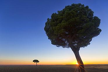 Pinos Backlit At Sunrise In The Natural Park Of Villafafila, Xamora