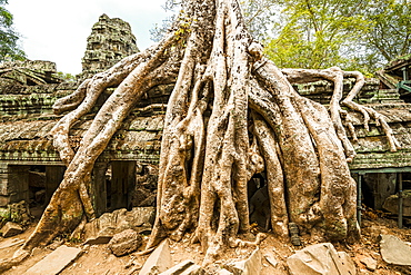 Tree Growing Over Ruins In Ankor Wat