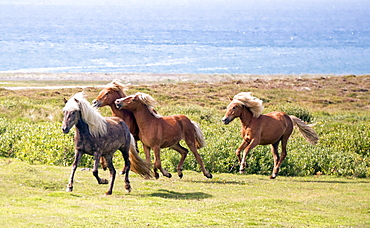 A Group Of Horses Running Along A Cliff With The Arctic Ocean In The Background
