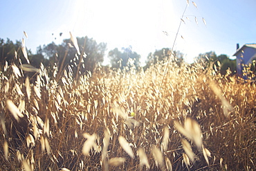 Spike Field During Sunrise