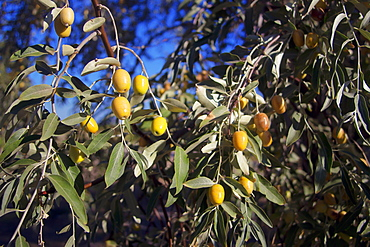 Green Olives Growing On An Olive Tree
