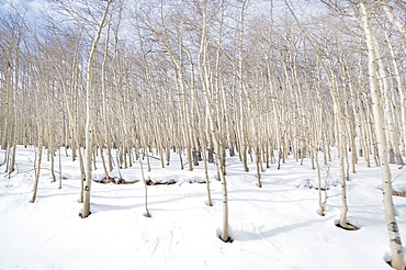 An Aspen Tree Colony On Vail Mountain
