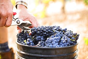 Harvest at vineyard in Santa Cruz Mountains