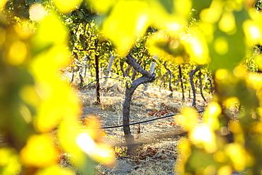 Sunset light shining through grape vines Woodside