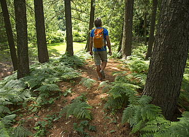 Male hiker follows trail through forest, ferns