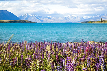 Lupins In Full Blossom Along The Shores Of Lake Pukaki, New Zealand