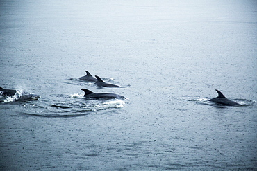Bottle-nose Dolphins During A Rainy Day In Milford Sound, New Zealand