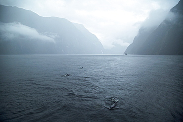 Bottle-nose Dolphins Swimming On The Surface During A Rainy Day In Milford Sound