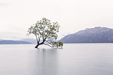 A Tree In The Middle Of Lake Wanaka On New Zealand's South Island