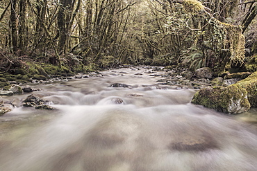 A Rapid River Flowing In The Rainforest, Fiordland National Park, New Zealand
