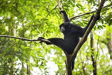 Sumatran Siamang In The Forest, Bukit Lawang, Sumatra, Indonesia