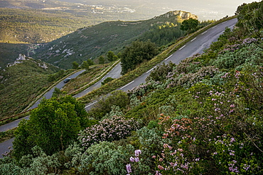 view of a sinuous scenic road in the garrigue at sunrise with flowers in the foreground in winter in the South of France