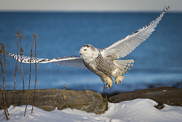 A snowy owl takes flight on the coast of New Hampshire.