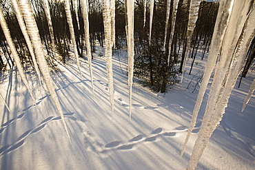 Huge icicles hang from the eaves of a house in foreground, with snowshoe tracks and sunbeams delineate the snow in a Maine forest.
