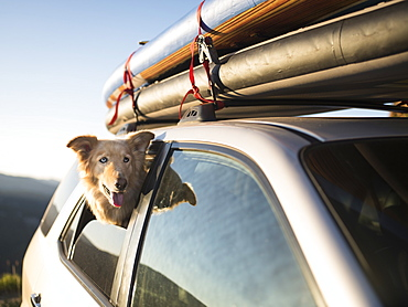 A dog waiting in an SUV loaded with SUPs