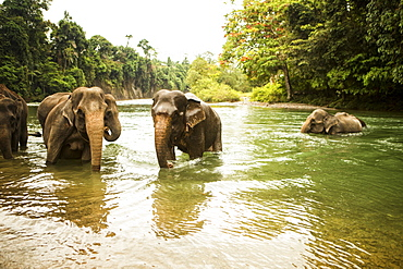 A family of Sumatran elephants bathe in a river in north Sumatra, Indonesia. Many of these elephants were rescued from being labor animals, but are still kept in less than ideal conditions.