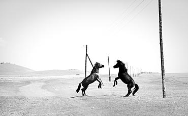 Two wild horses on steppe rearing up, Murun, Khuvsgul, Mongolia