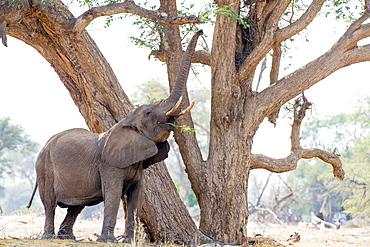 Single elephant eating from tree, Etosha National Park, Namibia