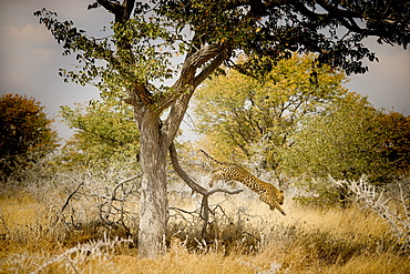 Nature photograph with leopard (Panthera pardus) jumping from tree, Etosha National Park, Namibia