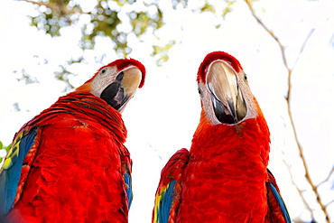 Two scarlet macaw (Ara macao) parrots looking at camera, Xcaret Park, Playa del Carmen, Quintana Roo, Yucatan Peninsula, Mexico