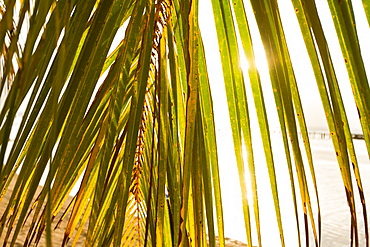 Sunset behind palm frond, West End, Roatan, Honduras