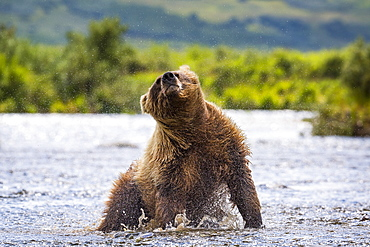 Wet Alaska Peninsula brown bear (Ursus arctos horribilis) shaking off water, Katmai National Park and Preserve, Alaska, USA