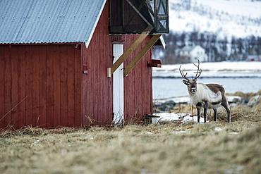 Beautiful single reindeer (Rangifer tarandus) standing by barn, Tromso, Norway
