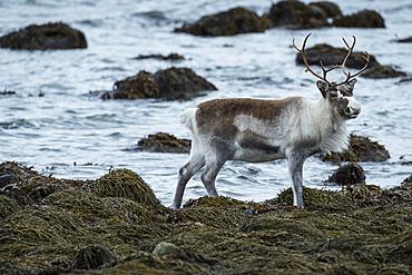 Side view shot of beautiful reindeer (Rangifer tarandus) standing by water, Tromso, Norway
