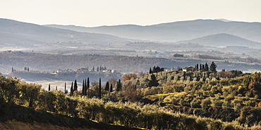 Typical Tuscan landsape with olive groves.