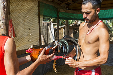 Cock training at arena before cock fighting, Vinales, Pinar del Rio Province, Cuba