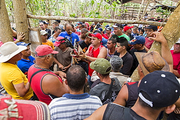 Crowd of people gathered around cock that gets weighted before cockfight, Vinales, Pinar del Rio Province, Cuba