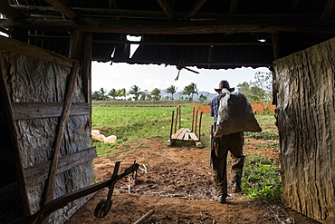 Rear view shot of farmer carrying sack while working at farm, Vinales, Pinar del Rio Province, Cuba