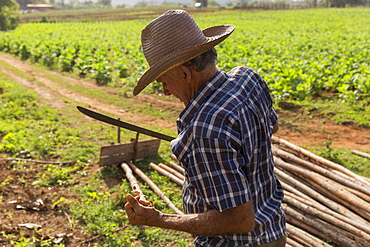 Side view waist up shot of farmer working at farm, Vinales, Pinar del Rio Province, Cuba