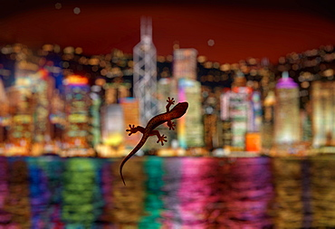 Lizard on hotel room window with blurred modern cityscape backdrop at night, Hong Kong, China