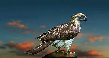 Philippine Eagle on blurred background with sunset clouds, Davao, Mindanao, Philippines
