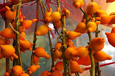 Photograph of lots of nipplefruit (Solanum mammosum)