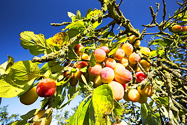 Plums growing in an orchard near Pershore, Vale of Evesham, Worcestershire, UK.