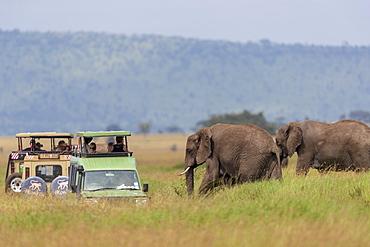 Nature photograph with view of two African elephants?(Loxodonta?africana)?near safari cars, Serengeti National Park, Mara Region, Tanzania