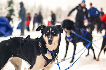 View of sled dog and people in background, Whistler, British Columbia, Canada