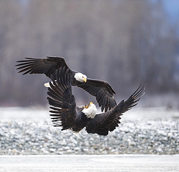 two bald eagles (Haliaeetus leucocephalus) fighting