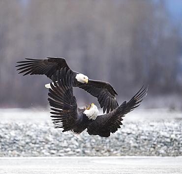 two bald eagles(Haliaeetusleucocephalus)fighting