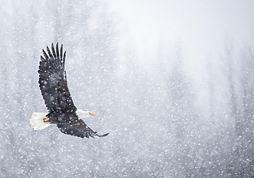 Nautre photograph of single bald eagle (Haliaeetus leucocephalus) flying during snowfall in winter