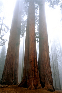 Sequoia National Park, CA. Giant Sequoias (Sequoiadendron giganteum) rise up through the clouds. Giant Sequoias can grow to over 200 ft tall and 100 ft wide. Some Giant Sequoias are 2000 to 3000 years old.