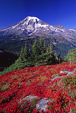 Mountain blueberries turn bright red during fall in Mt. Rainier National Park, Washington